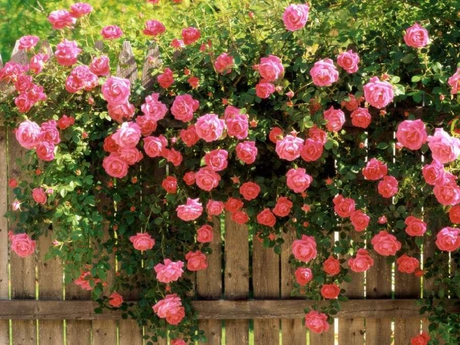 Роза на оградата - красиви висящи рози (10×8)
