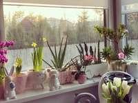 flori pe fereastră - flori pe pervazul ferestrei