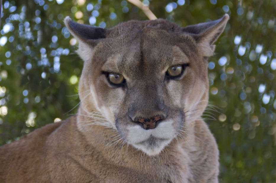 Puzzle cu puma - Puma sau leul de munte este o specie de mamifer carnivor, aparținând familiei feline și subfamiliei feline care este originară din continentul american (9×6)