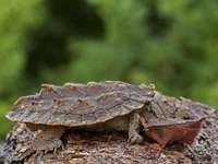 Παζλ χελώνας