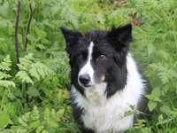 amigo cachorro - cão border collie - cães pastores muito bons
