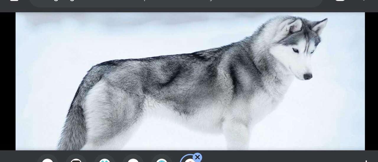 Husky siberiano (raza de perro)