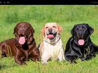 Labradors (hondenras)