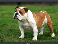 Bulldogge (Hunderasse)