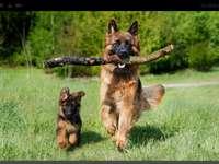 Pastores Alemães (raça de cachorro)