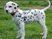 Dalmatiner (Hunderasse)