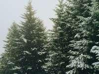 πράσινα πεύκα κατά τη διάρκεια του χειμώνα