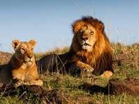 δύο λιοντάρια ..