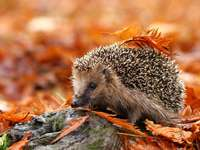 Hedgehog in leaves - Autumn is the time of hedgehog preparation for winter.