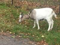 Cabra em um passeio de outono - A foto mostra uma cabra