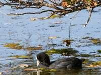 anatra nera sull'acqua durante il giorno - Réserve Ornithologique du Teich, Rue du Port, Le Teich, Francia