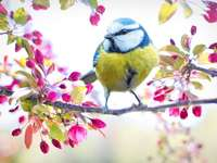 Pretty mesange - The titmouse in spring