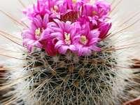 kaktus z kwiatami - kaktus z cierniami