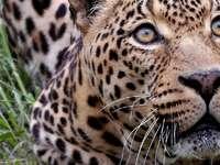 giaguaro - una decorazione con un giaguaro