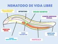 Nematóide de vida livre - Anatomia de nematóides de vida livre