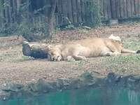 In de dierentuin van Boekarest - Vrouwelijke tijger, in de dierentuin van Boekarest