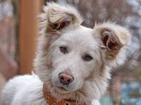cane a pelo lungo bianco e marrone - Vero amico. Un giovane cane bianco in un collare, chinando la testa con uno sguardo di completa devo