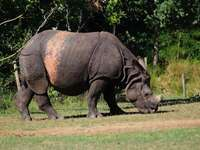 кафяв носорог, който яде трева - Носорог. Zoo de La Flèche, La Flèche, Франция