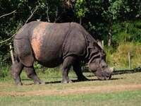 brown rhino eating grass