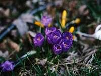 zblízka fotografie fialových okvětních lístků - tráva-krokus-jarní-skupina. Indianapolis, Spojené státy