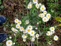 Kamille bloem - Dit is een bloem die kamille wordt genoemd