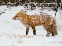 Лисица през зимата