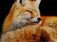 Ryšavá líška