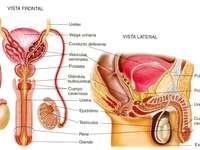 mannelijk voortplantingssysteem - Deze puzzel wordt gebruikt om het mannelijke voortplantingssysteem aan kinderen te leren