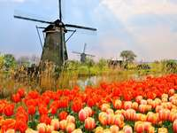 tulips in netherlands - m ....................