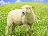 Puzzle di pecore - Puzzle di pecore