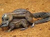 twee bruine eekhoorns