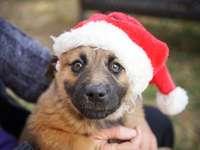 cucciolo marrone a pelo corto che indossa il cappello della santa - Questo e gli altri due scatti con cappelli di Babbo Natale sui cuccioli, provengono da uno scatto ch