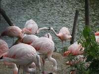 Flamingók - A rózsaszín tollak gyönyörűek