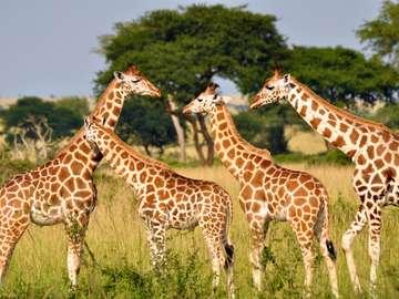 Mi piacciono le giraffe