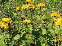 A Telekia a nevük - TELEKIA -Hegyi virágok