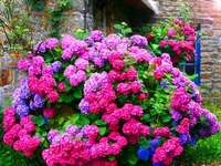 colorful hydrangea in front of the house - m ...................