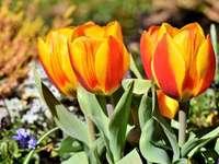 tulipas da primavera - m ...................