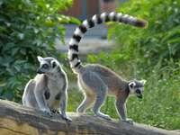 lémuriens à queue - m ....................