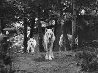 γκρι κλίμακα φωτογραφία τριών σκύλων στο δάσος
