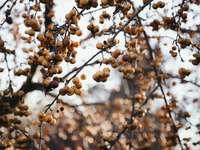 angrešt strom - Botanischer Garten, Mnichov, Německo
