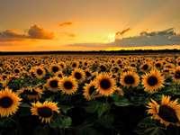 Zonnebloem - Deze afbeelding toont een zonsondergang op een veld met bloemen,