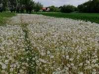 Witte weide - Deze foto toont een weiland vol paardebloemen.