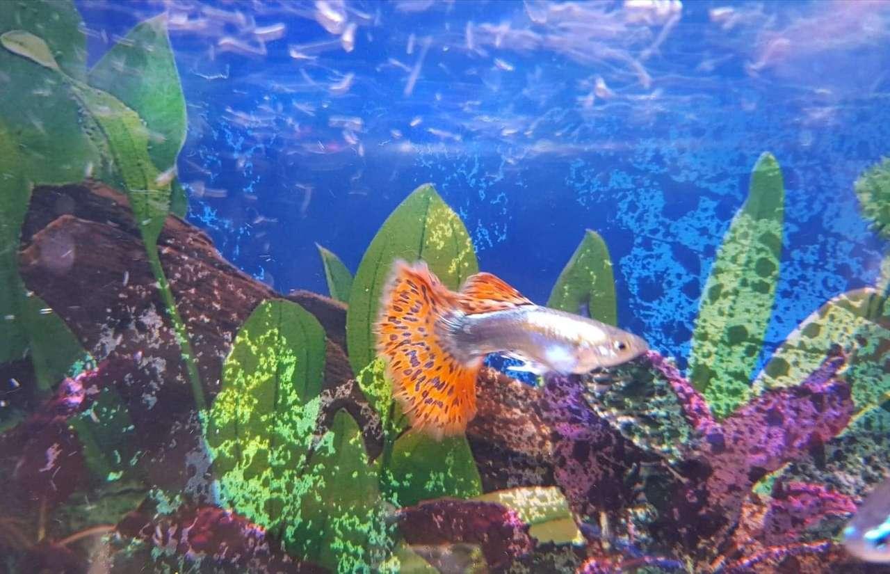 peixe guppy - peixes guppy no aquário. Quebra-cabeças fáceis (7×5)