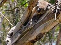 šedá koala na stromě - Phillip Island, Austrálie