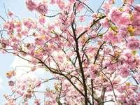 rosa körsbärsblomsträd - Amsterdam, Nederländerna