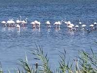 flamingo Lesina Foggia Italia - Arie protejată a lacului Lesina, provincia Foggia, Italia