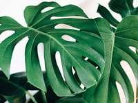Monstera deliciosa - monstera deliciosa krásné děravé listy