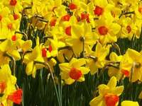 Påsklilja blommor - Denna bild visar en vårblomma