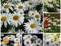 Lots of daisies - A mix of paintings dedicated to daisies!
