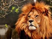 απειλητικό λιοντάρι